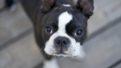 Boston terrier – aktywny pies rodzinny
