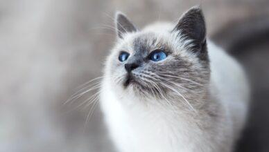 Burmilla – łagodny i spokojny kot