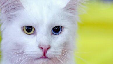 Khao manee – kot z kolorowymi oczami