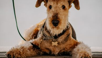 Terier walijski – wesoły i energiczny pies