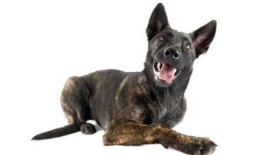 Owczarek holenderski – pręgowany pies