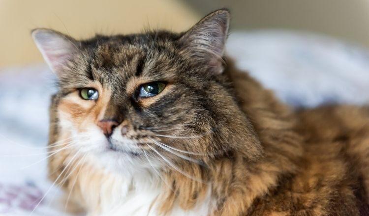 Trzecia powieka u kota – czy jest to powód do niepokoju?