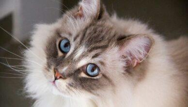 Jakie rasy kotów mają niebieskie oczy?