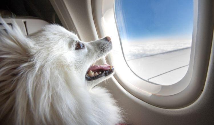Przelot samolotem z psem – jakie obowiązują przepisy?